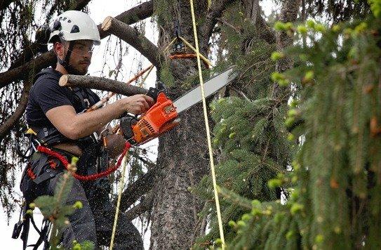 Petrie Tree Lopping